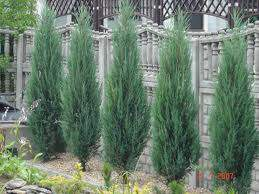 Genévrier - JUNIPERUS scolopulorum 'Blue Arrow' - Conifère