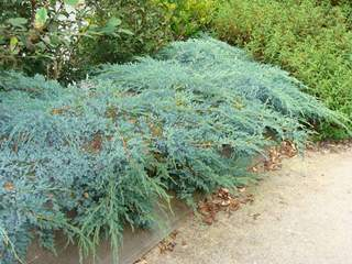JUNIPERUS squamata 'Blue Carpet' AT