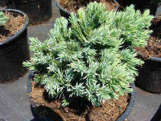 JUNIPERUS squamata 'Blue star' AT