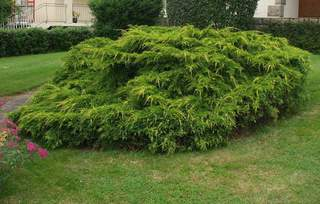 JUNIPERUS X media 'Old Gold' AT