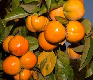 Kaki du japon plaqueminier arbre fruitier - Comment s appelle l arbre du kaki ...