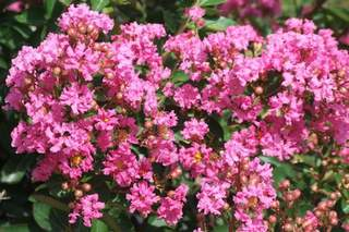 LAGERSTROEMIA 'rose indien' int