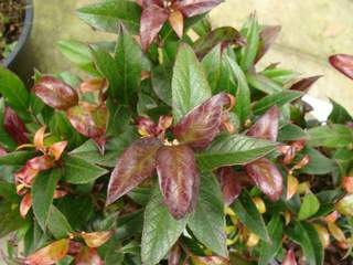 LEUCOTHOE 'Red leaf'