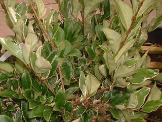 LIGUSTRUM texanum 'Erecta variegata'