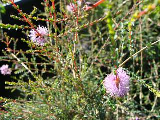 Melaleuca gibbosa at