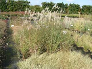 MISCANTHUS 'Klein Fontain' at
