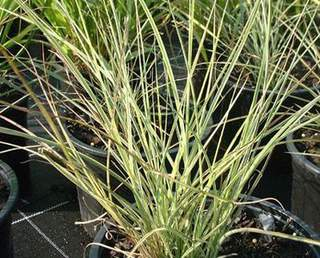 Eulalie - MISCANTHUS sinensis 'Morning Light' - Graminées
