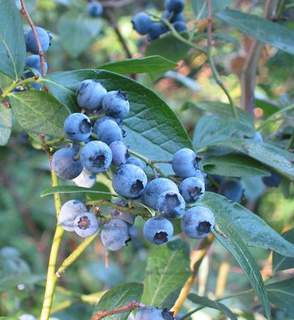 Myrtille - MYRTILLE 'blue crop' - Arbre fruitier