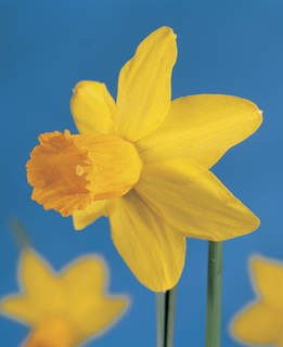 Narcisses - Narcisses cyclamineus 'Jetfire' - Bulbe