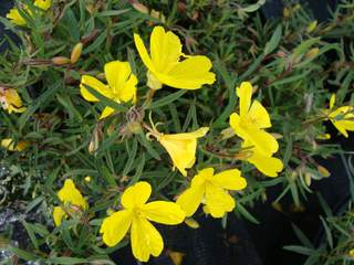 OENOTHERA 'Lemon Drop' AT