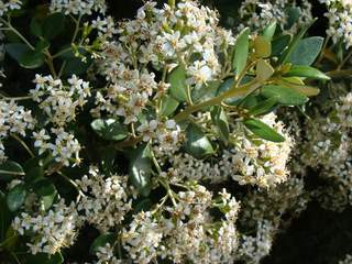 Olearia traversi at