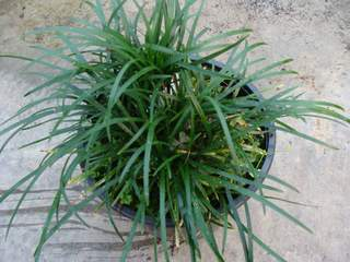 OPHIOPOGON minor