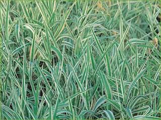 Les plantes couvre sol for Comarbuste couvre sol croissance rapide