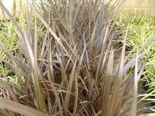 PHORMIUM 'Black Rage' AT
