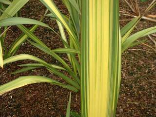 PHORMIUM 'Yellow Wave' 2