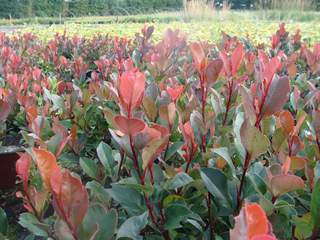 Photinia nain - PHOTINIA 'Little Red Robin' - Arbuste