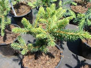 PICEA abies 'Maxwelli' AT