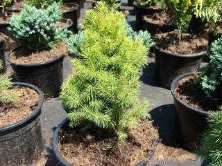 PICEA albertiana 'Conica' AT