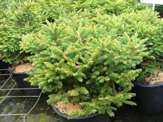 PICEA omorika 'Nana' AT