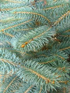 PICEA pungens 'Glauca' ATfeuille