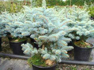 PICEA pungens 'Globosa' AT Copie