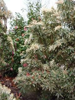 PIERIS floribunda 'Flamming Sylver'