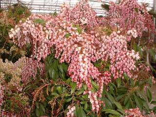 PIERIS valey rose