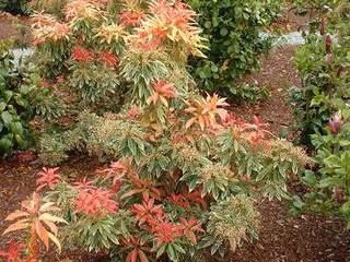 Cotoneaster dammeri major cotoneaster rampant arbuste - Cotoneaster dammeri green carpet ...