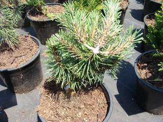 PINUS mugo 'Humpy'AT
