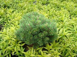 PINUS mugo 'Picobello' AT