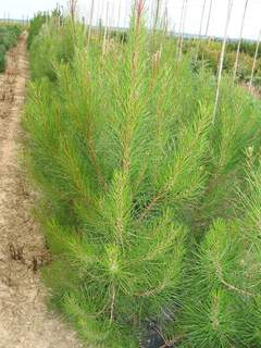 PINUS pinaster AT