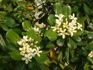 Pittosporum - PITTOSPORUM 'Tobira' - Arbuste