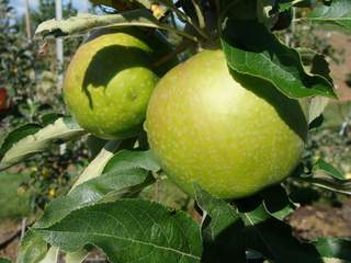 Pommier 'Granny Smith' at