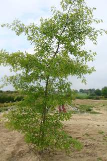 QUERCUS palustris 200x300 port