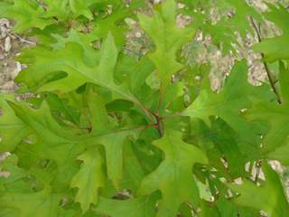 QUERCUS palustris 400x300