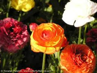 Renoncule - RANUNCULUS orange - Bulbe