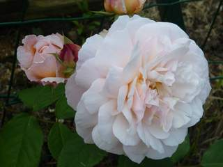 ROSIER anglais 'The generous gardener'®