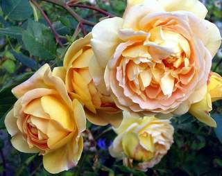ROSIER anglais 'Golden Celebration'® - ROSIER anglais 'Golden Celebration'® - Rosier