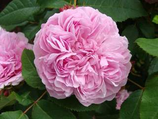 ROSIER 'Jacques cartier' ancien