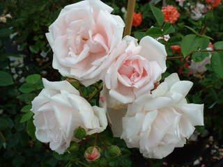 Rosier grimpant petite fleur 39 lilly marleen 39 rosier for Rosier grimpant vesuvia