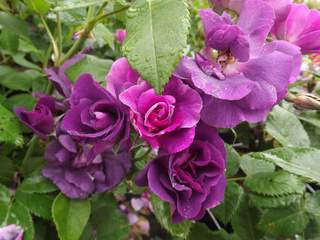 Rosier 'Rhapsody in blue' at