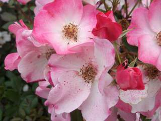 Rosier arbustif 'Rush' - ROSIER arbustif 'Rush'® - Rosier
