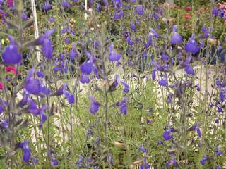 Sauge - SALVIA Blue Note - Arbuste