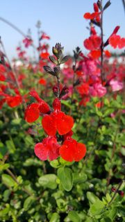 Sauge - SALVIA Royal bumble - Arbuste