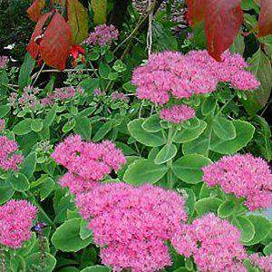 SEDUM spectabile 'Brillant ext