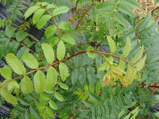 SORBUS aucuparia AT