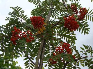 SORBUS 'Wettra' AT