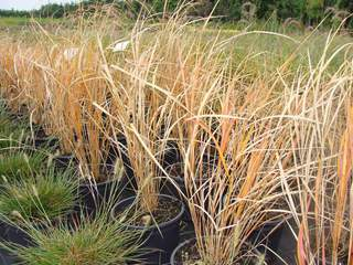STIPA arundinacea AT