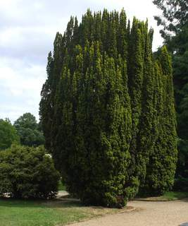 If - TAXUS baccata - Conifère