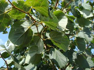 TILIA cordata at